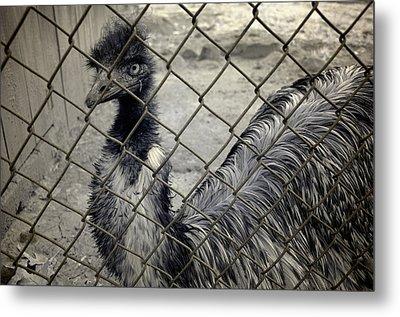 Emu At The Zoo Metal Print by Luke Moore