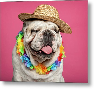 English Bulldog (18 Months Old) Metal Print by Life On White