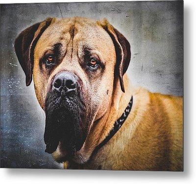 English Mastiff Dog Portrait Metal Print