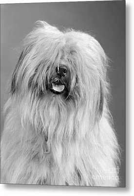 English Sheepdog, C.1960s Metal Print by H. Armstrong Roberts/ClassicStock