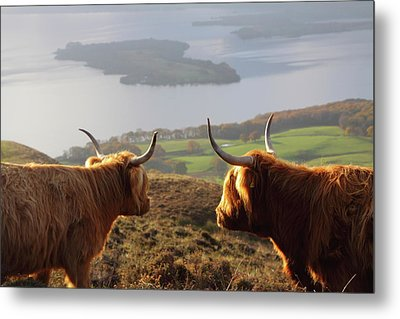 Enjoying The View - Highland Cattle Metal Print