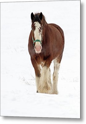 Metal Print featuring the photograph Equus Caballus.. by Nina Stavlund