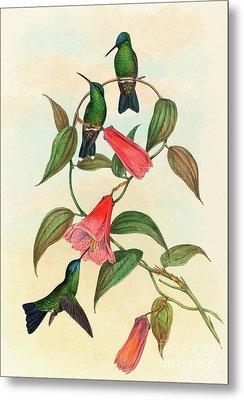 Eucephala Smaragdocaerulea  Gould's Wood Nymph Metal Print by John Gould