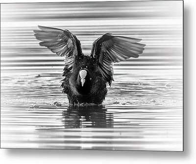 Eurasian Or Common Coot, Fulicula Atra, Duck Metal Print