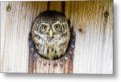Eurasian Pygmy Owl Metal Print