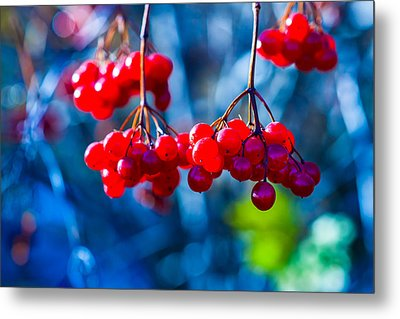 Metal Print featuring the photograph European Cranberry Berries by Alexander Senin