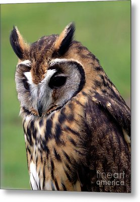 Eurasian Striped  Owl Metal Print by Stephen Melia