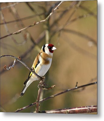 European Goldfinch 2 Metal Print