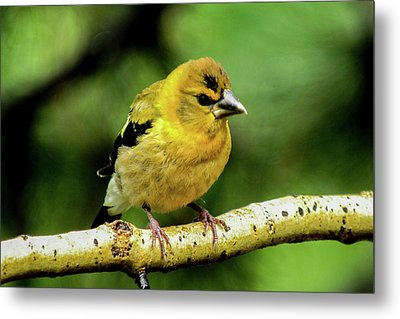 Evening Grosbeak Baby Metal Print