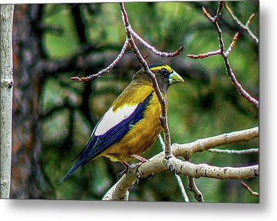 Evening Grosbeak On Aspen Metal Print