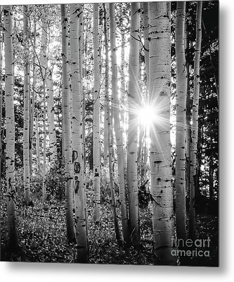 Metal Print featuring the photograph Evening In An Aspen Woods Bw by The Forests Edge Photography - Diane Sandoval