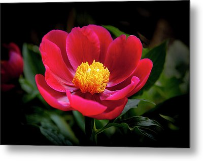 Metal Print featuring the photograph Evening Peony by Charles Harden
