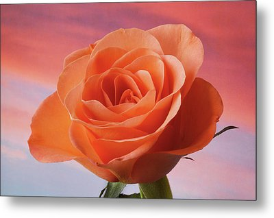Metal Print featuring the photograph Evening Rose by Terence Davis