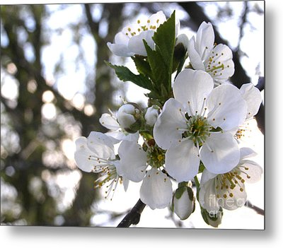 Metal Print featuring the photograph Evening Show - Cherry Blossoms by Angie Rea