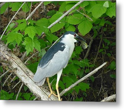 Evening Snack For A Night Heron Metal Print by Donald C Morgan