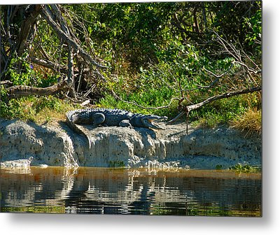 Everglades Crocodile Metal Print by David Lee Thompson