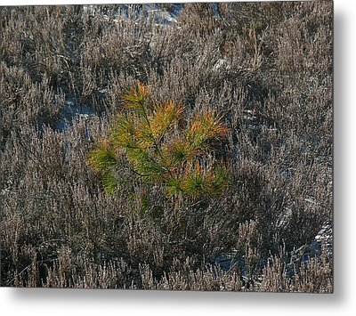 Evergreen  Metal Print by Juergen Roth