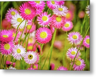 Everlasting Daisies, Kings Park Metal Print