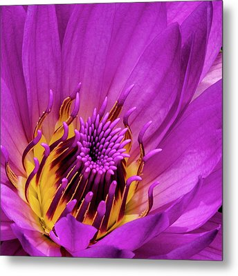Exotic Hot Pink Water Lily Macro Metal Print by Julie Palencia