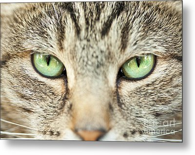 Extreme Close Up Tabby Cat Metal Print by Sharon Dominick