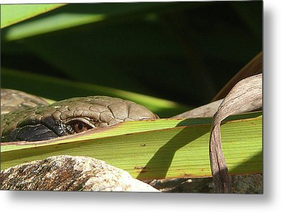 Eye Contact Metal Print by Evelyn Tambour