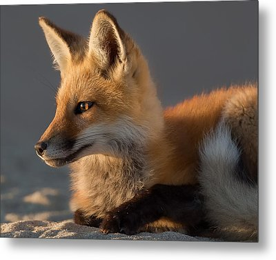 Metal Print featuring the photograph Eye Of The Fox by Bill Wakeley