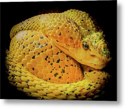 Eyelash Viper Metal Print by Karen Wiles