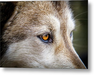 Metal Print featuring the photograph Eyes Of The Gray Wolf by Teri Virbickis