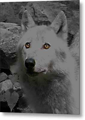 Metal Print featuring the photograph Eyes Of The Wolf by Debra     Vatalaro