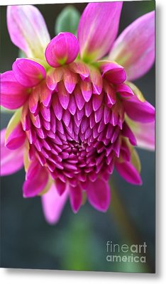Face Of Dahlia Metal Print
