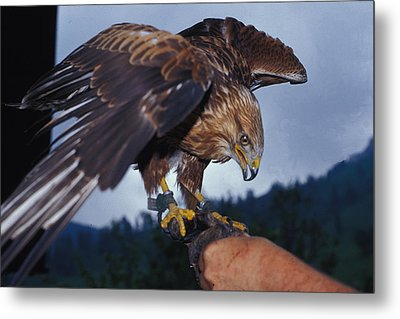 Falcon Metal Print by Carl Purcell