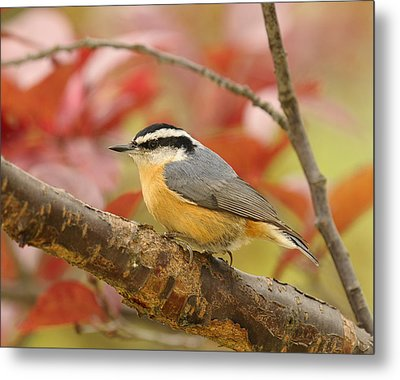 Fall Colors Nuthatch Metal Print