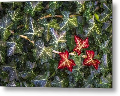 Metal Print featuring the photograph Fall Ivy Leaves by Adam Romanowicz