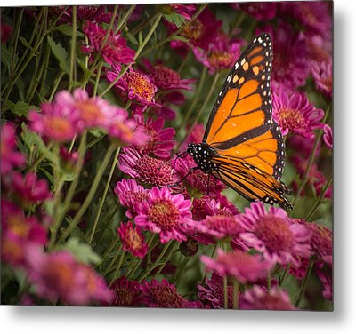 Metal Print featuring the photograph Fall Monarch  by Julie Andel