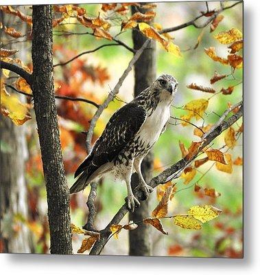 Fall Red-tailed Hawk Metal Print