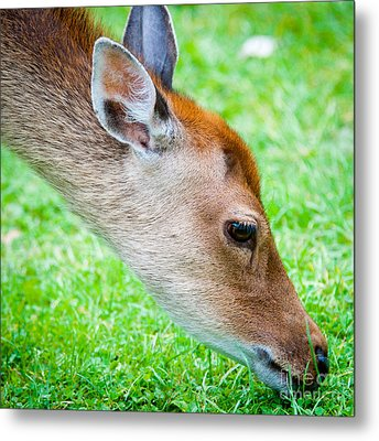 Fallow Deer Grazing British Fallow Deer Grazing On Grass In The New Forest Dorset Metal Print by Andy Smy