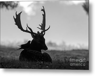 Fallow Deer With Friend - Black And White Metal Print
