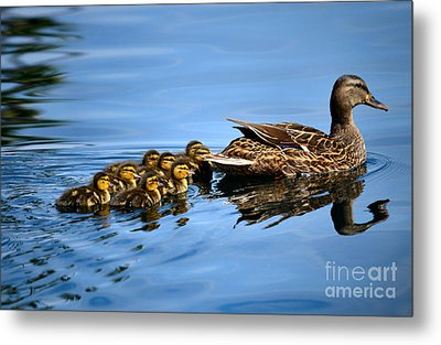 Family Swim Metal Print by Deb Halloran