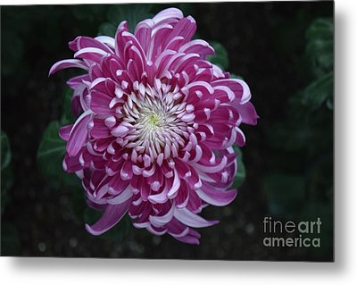 Fancy Chrysanthemum In Pink Metal Print