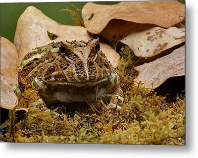 Metal Print featuring the photograph Fantasy - Horned Frog by Nikolyn McDonald