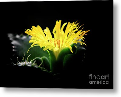 Metal Print featuring the photograph Faucaria Tigerina Tiger's Jaw by Charline Xia