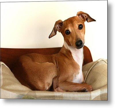 Fawn Italian Greyhound 2 Metal Print by Angela Rath