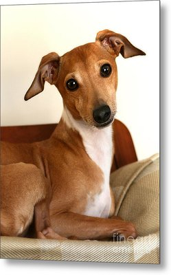 Fawn Italian Greyhound Metal Print by Angela Rath
