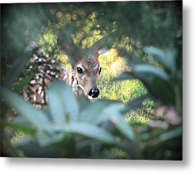 Fawn Peeking Through Bushes Metal Print