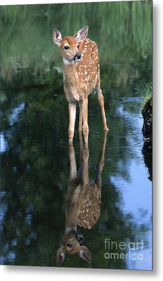 Fawn Reflection Metal Print by Sandra Bronstein