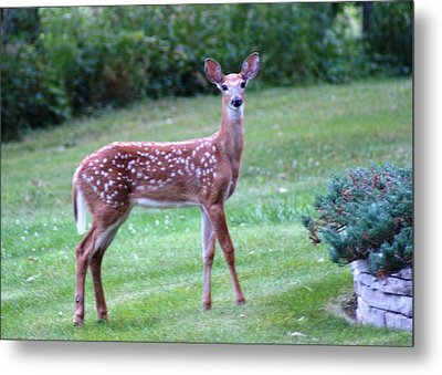 Fawn Standing Metal Print by Geralyn Palmer