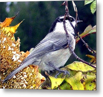 Feast For A Chickadee Metal Print by Will Borden