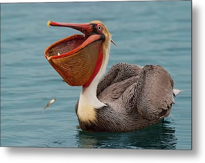 Metal Print featuring the photograph Feasting Brown Pelican  by Ram Vasudev