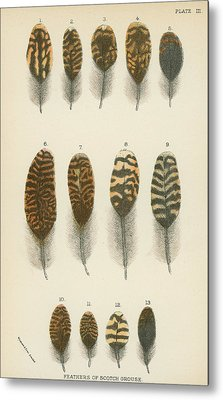 Feathers Of Scotch Grouse Metal Print by English School