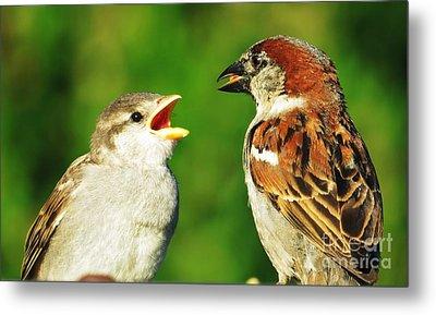 Feeding Baby Sparrows 2 Metal Print